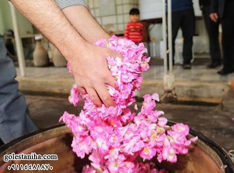 گلچینی و گلابگیری در کاشان به روایت تصویر